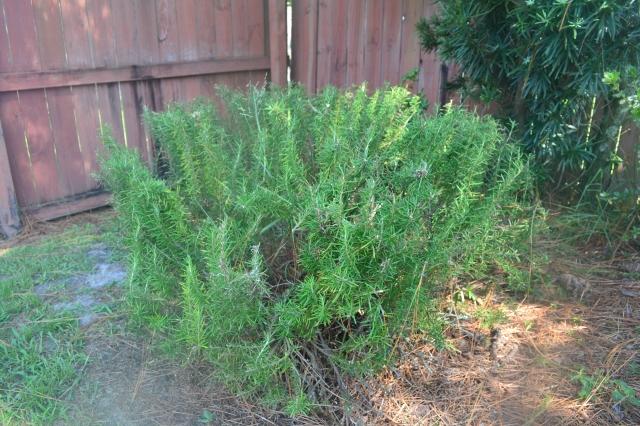 Healthy Kitchen Healthy Budget Rosemary bush